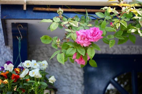Roses deep pink rambler