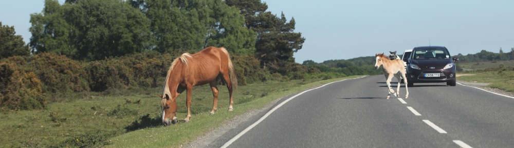 Foal running across road after mother