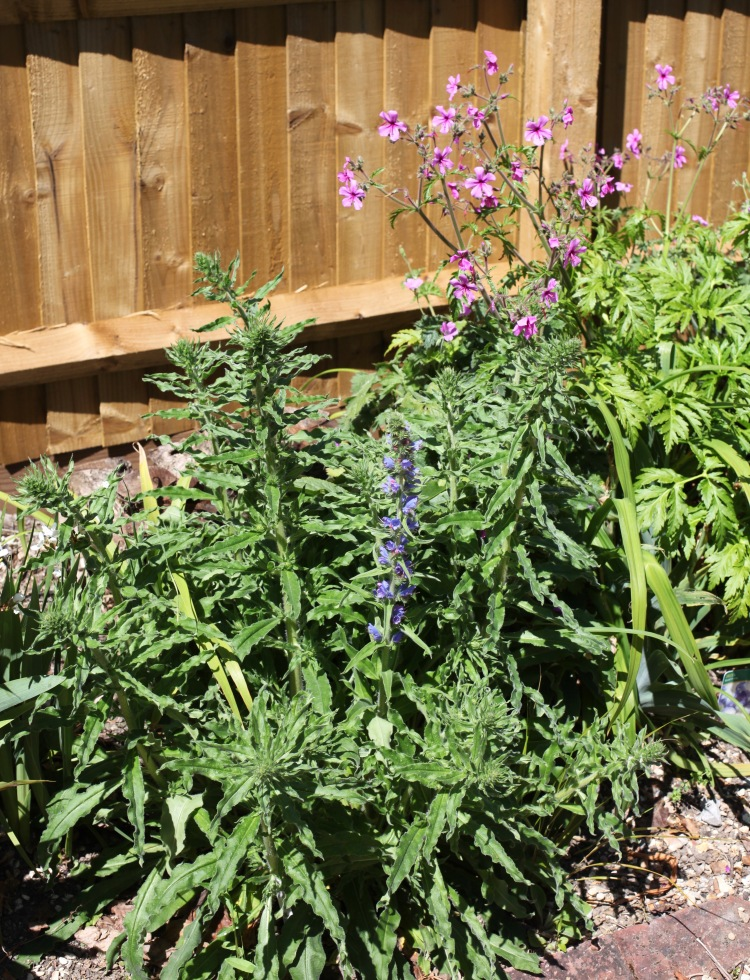 Viper's bugloss and geranium palmatum