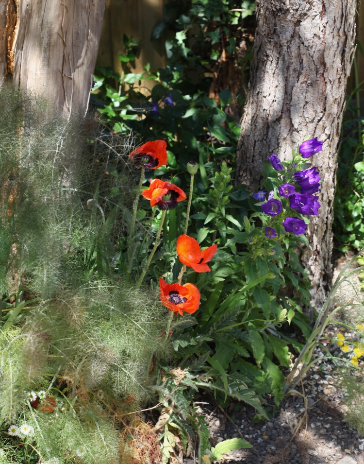 Bronze fennel, poppies, Canterbury bells