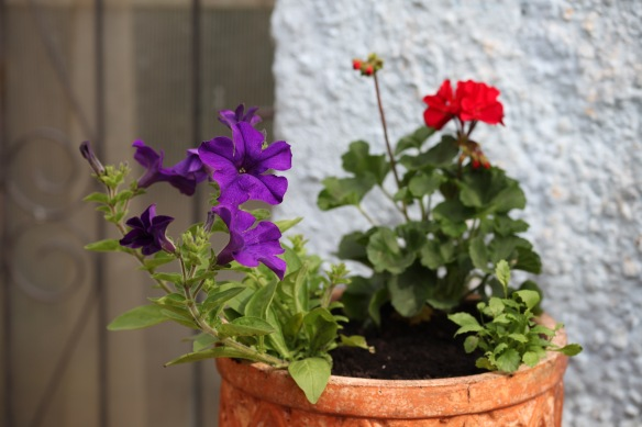 Petunias and geraniums