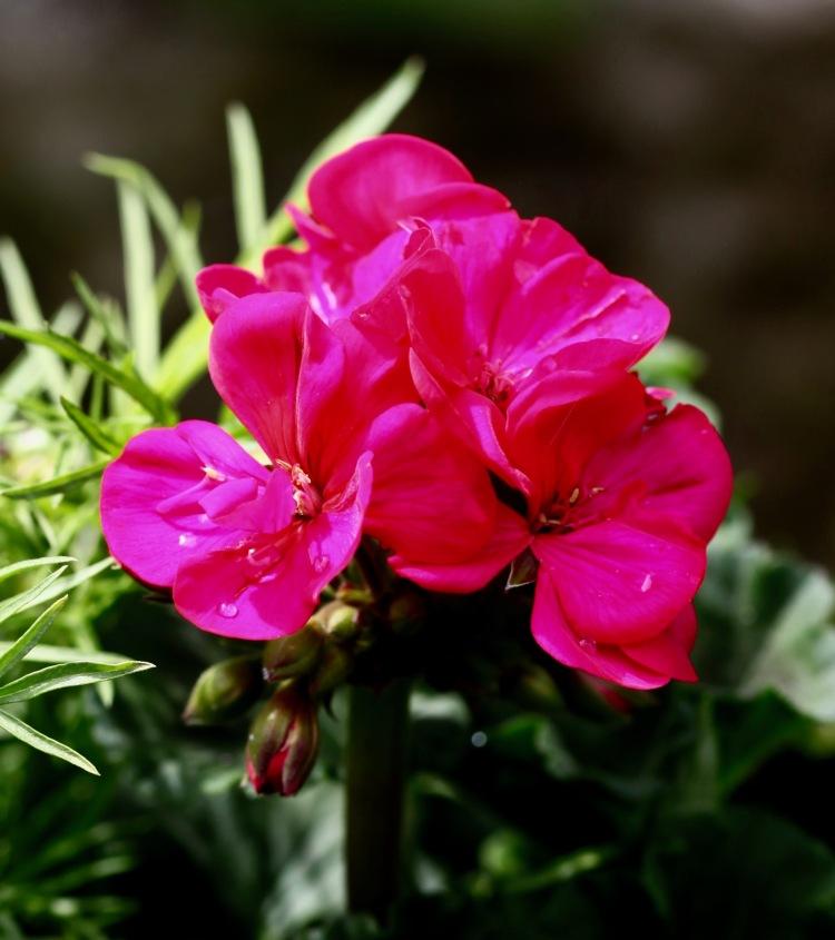 Raindrops on geranium