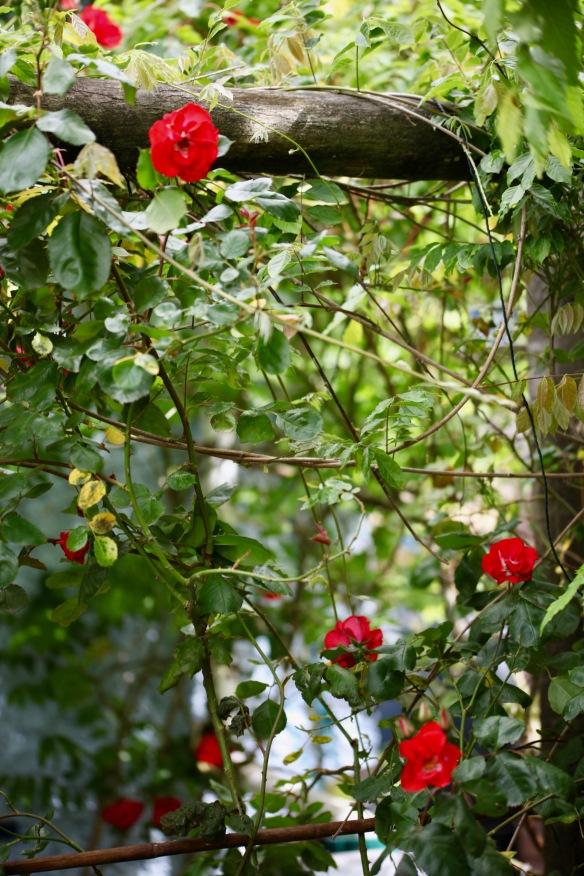Rose on wisteria arbour