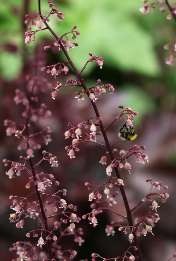 Bee on heuchera
