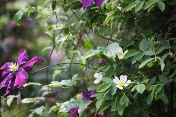 Clematis and white climber