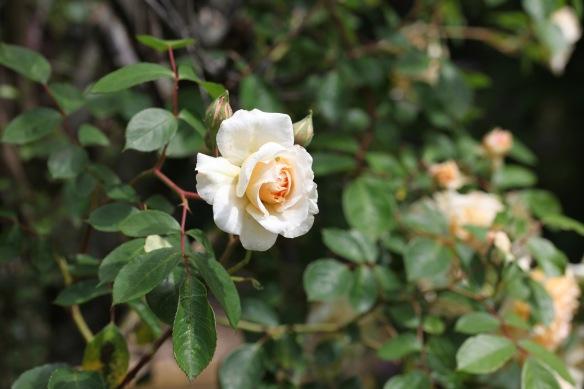 Rose Peach Abundance