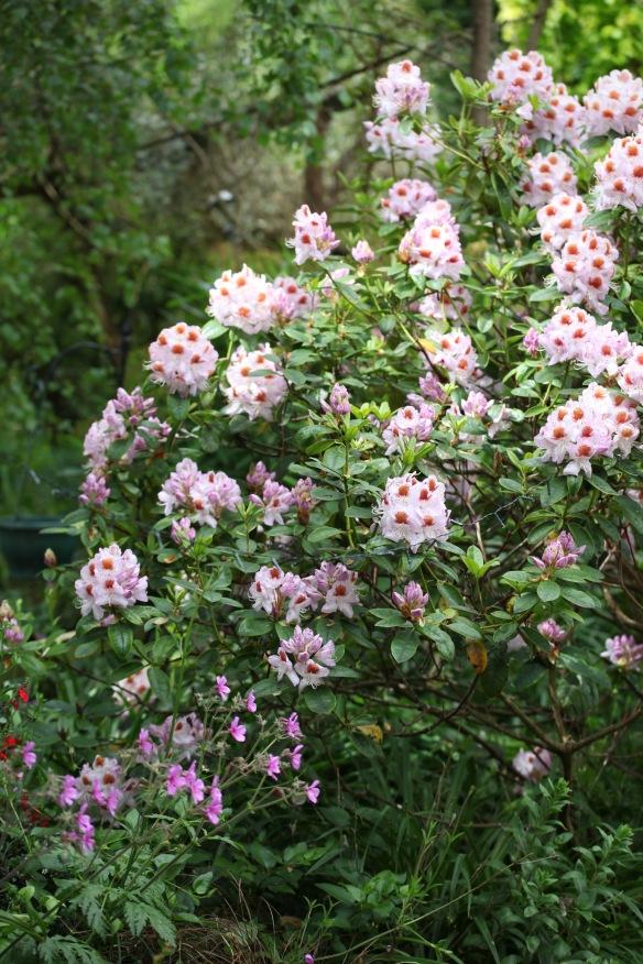 Rhododendron and geranium palmatum