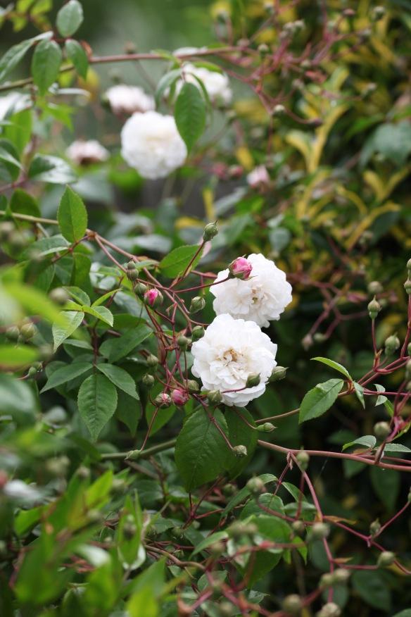 Rose Félicité Perpétue 2