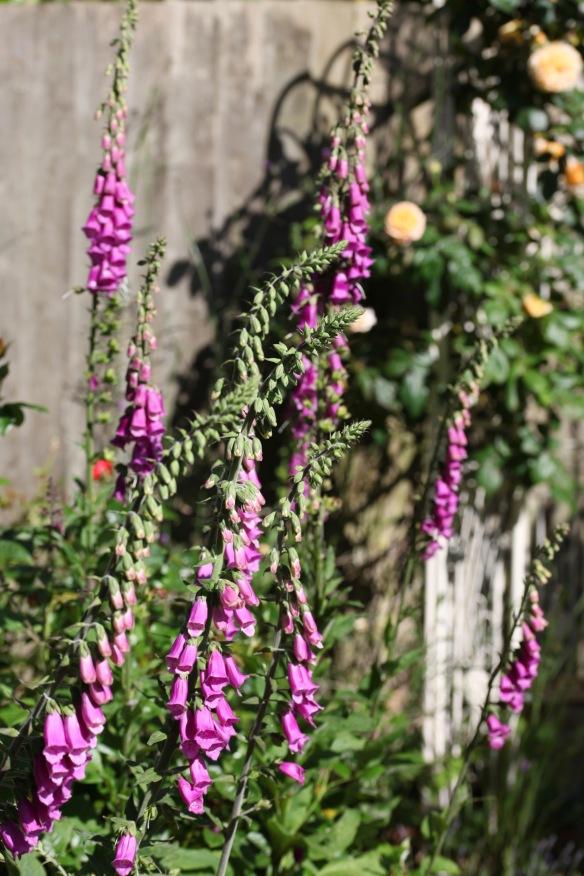 Foxgloves in Rose Garden