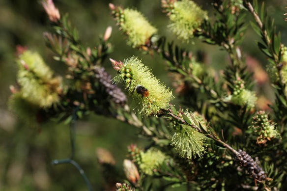 Bee on yellow Bottle Brush plant