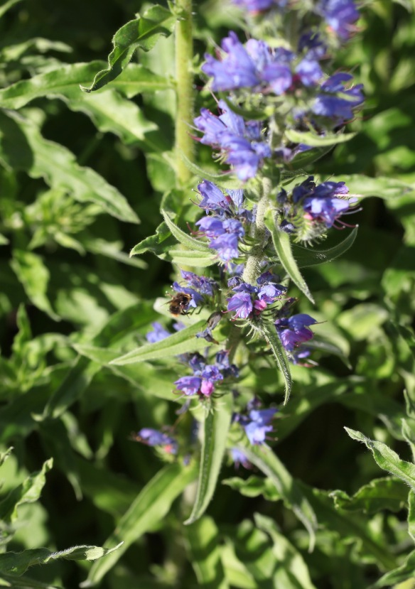 Bee on viper's bugloss