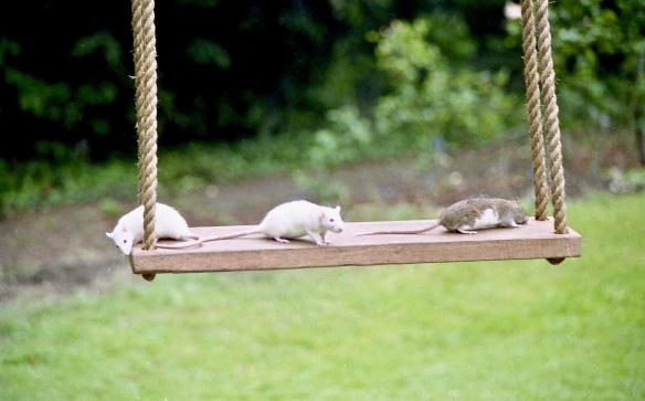Rats on swing 5.90