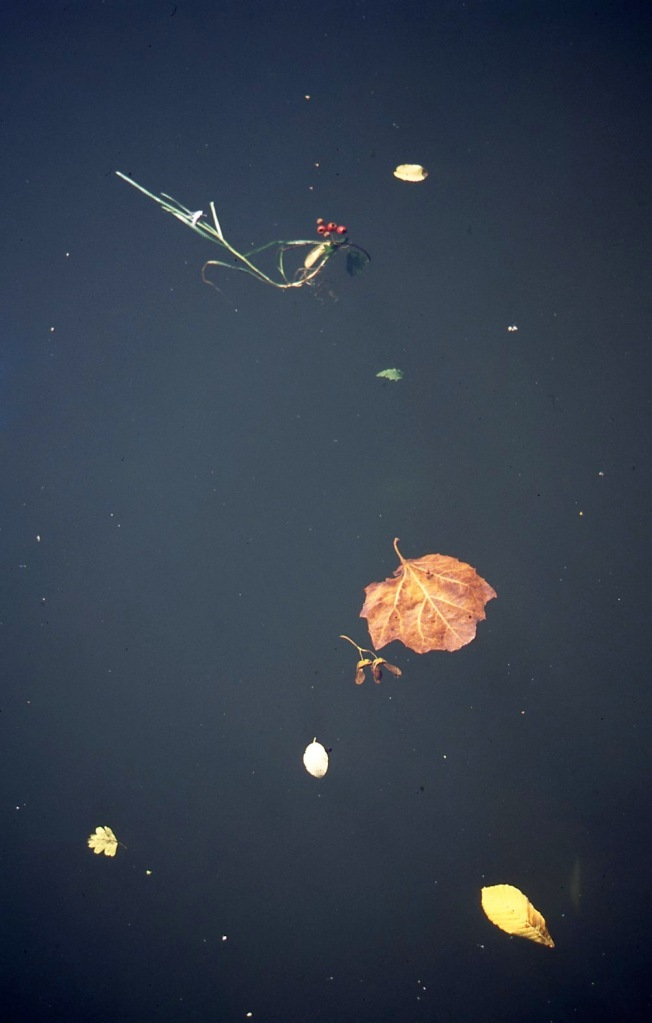 Floating leaves and seeds