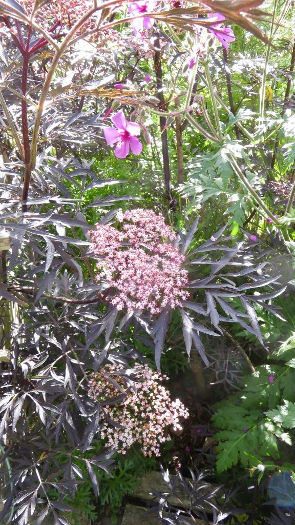 Sambucus nigra and geranium palmatum 1