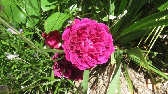 rose Ernest H. Morse