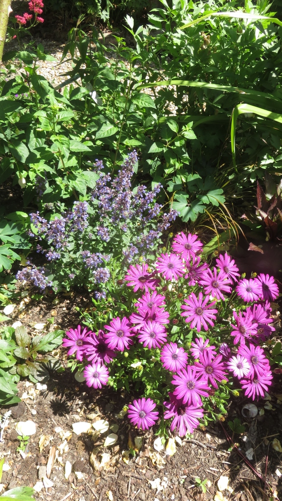 Osteospermum and nepeta