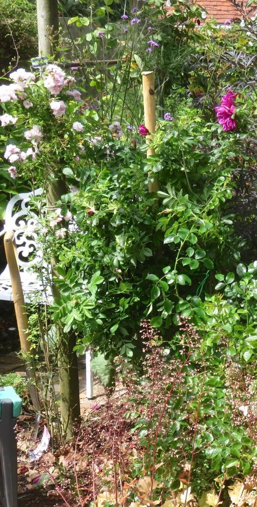 Roseraie de l'Hay staked