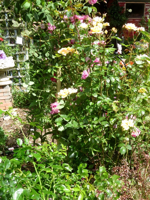 Rosa gallica and Laura Ford