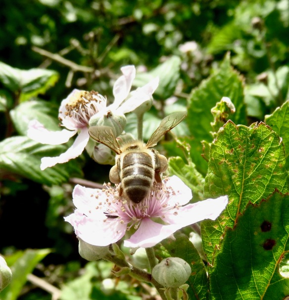 Bee on blackberry blossom