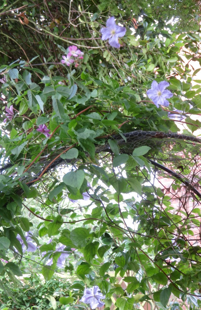 Clematis and rosa glauca 2