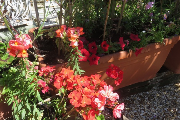 Snapdragons, geraniums and petunias