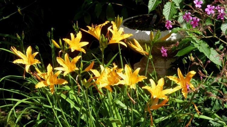 Day lilies and geranium palmatums