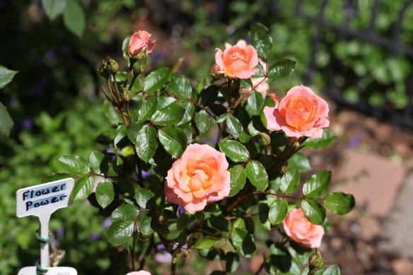 rose Flower Power