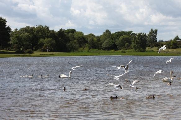 Swans, cygnets, gulls, ducks 1