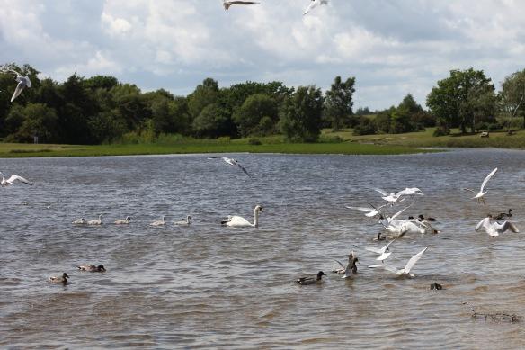 Swans, cygnets, gulls, ducks 3