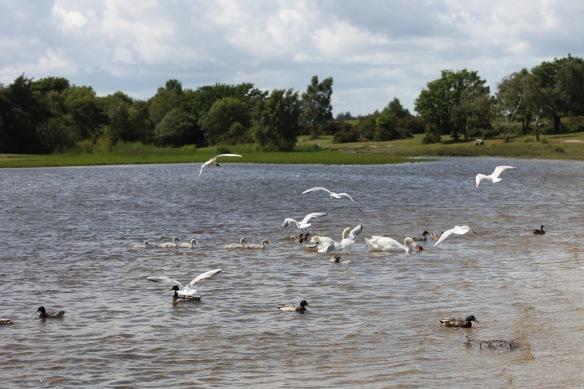 Swans, cygnets, gulls, ducks 4