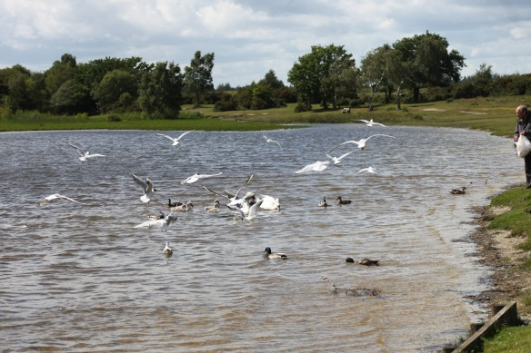 Swans, cygnets, gulls, ducks 5