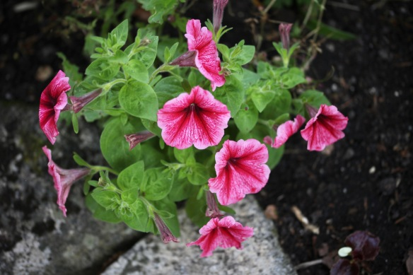 Petunias 2