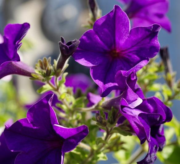 Petunias 4