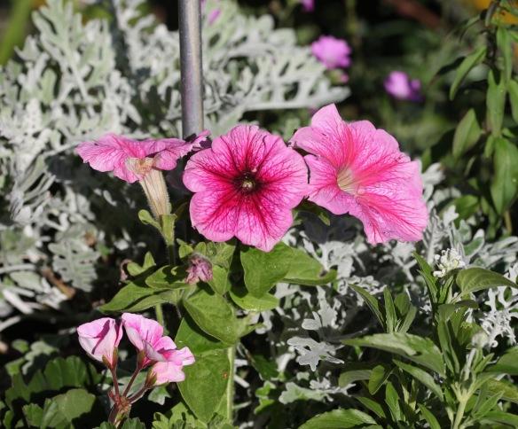 Petunias 6