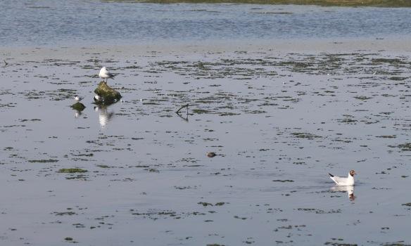 Little terns and gulls