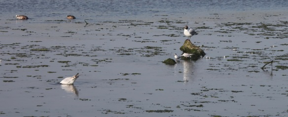 Little terns and black headed gull 2