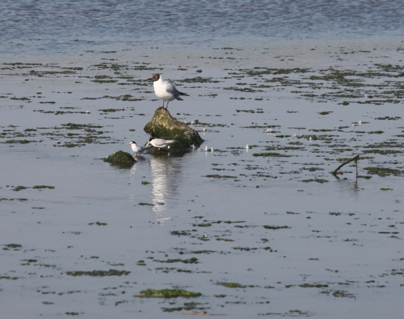 Little terns and black headed gull 3