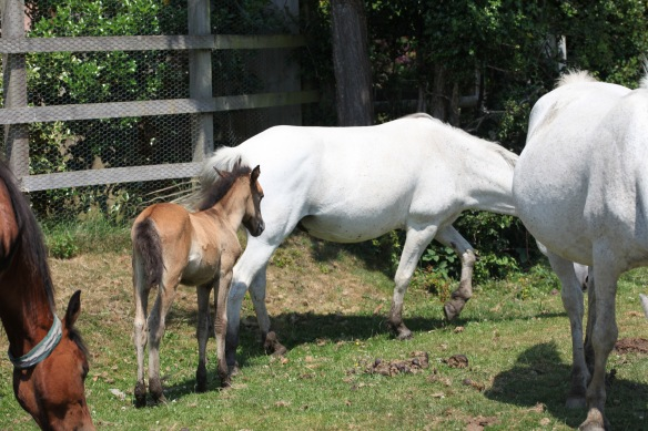Foal following mother