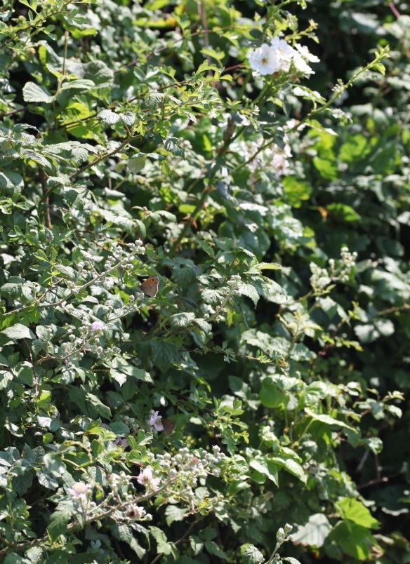 Small Heath butterflies