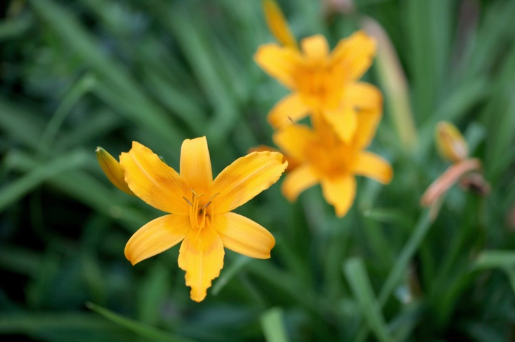 Day lilies 1