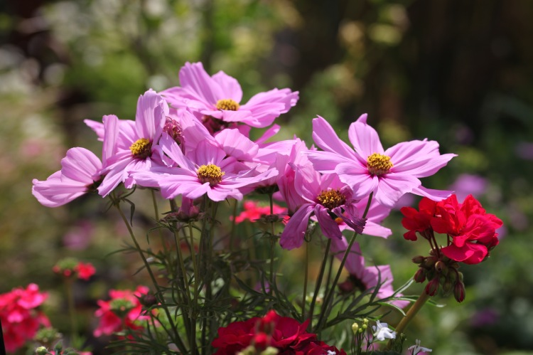 Cosmoses and geraniums