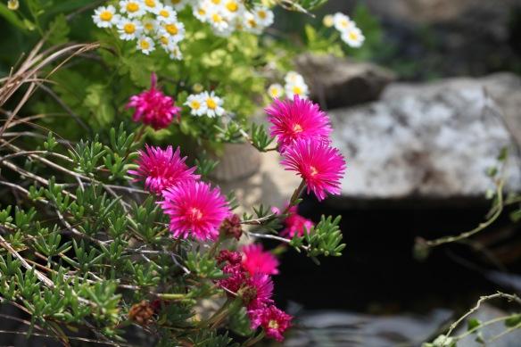 Mesembryanthemums