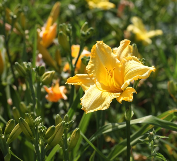 Day lily 5