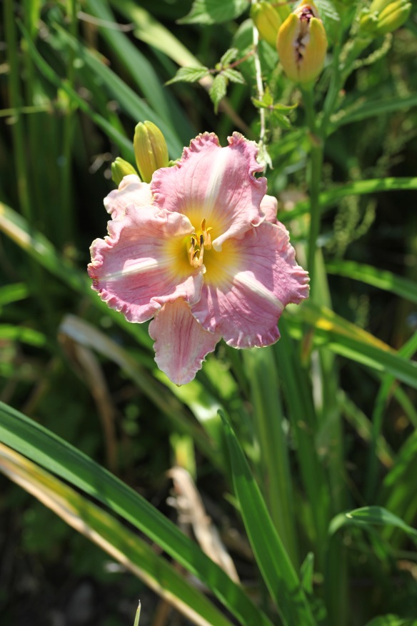 Day lily 8