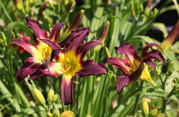 Day lilies 10