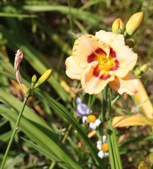 Day lily 9