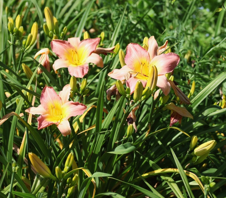 Day lilies 12