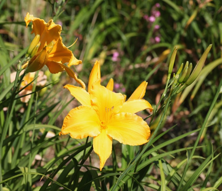 Day lilies 13