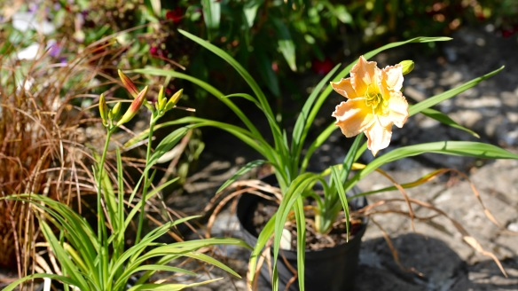 Day lilies 15