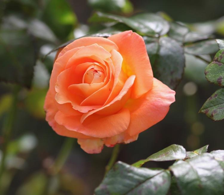 Rose Mama Mia